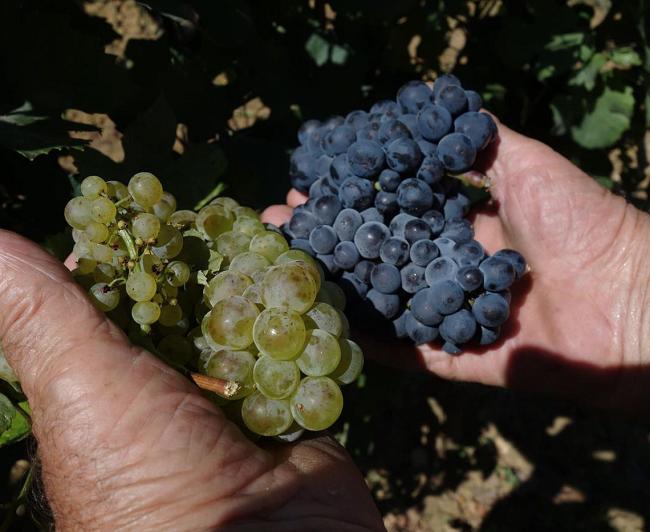 収穫されたばかりの白ブドウのシャルドネ種と黒ブドウのピノ・ノワール種